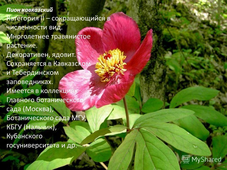 Пион кавказский Категория II – сокращающийся в численности вид. Многолетнее травянистое растение. Декоративен, ядовит. Сохраняется в Кавказском и Тебердинском заповедниках. Имеется в коллекциях Главного ботанического сада (Москва), Ботанического сада
