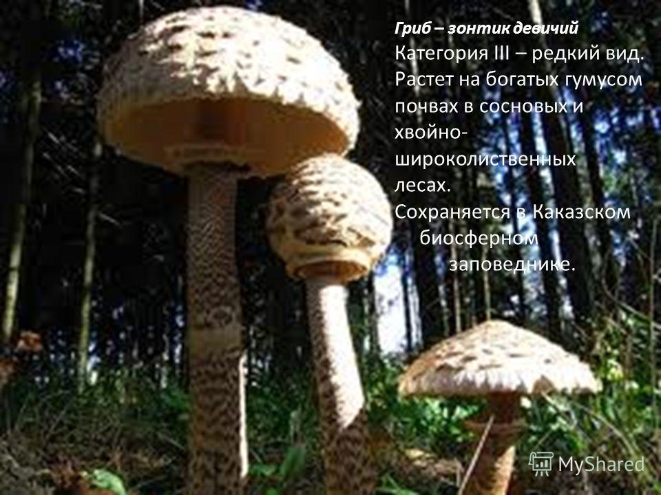 Гриб – зонтик девичий Категория III – редкий вид. Растет на богатых гумусом почвах в сосновых и хвойно- широколиственных лесах. Сохраняется в Каказском биосферном заповеднике.