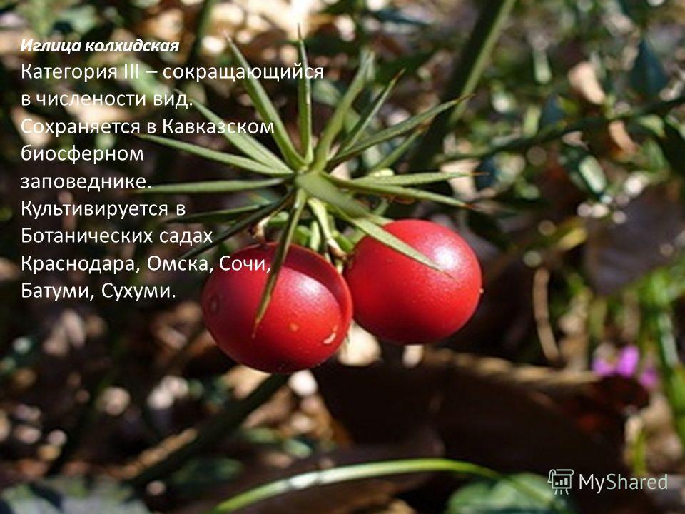 Иглица колхидская Категория III – сокращающийся в числености вид. Сохраняется в Кавказском биосферном заповеднике. Культивируется в Ботанических садах Краснодара, Омска, Сочи, Батуми, Сухуми.