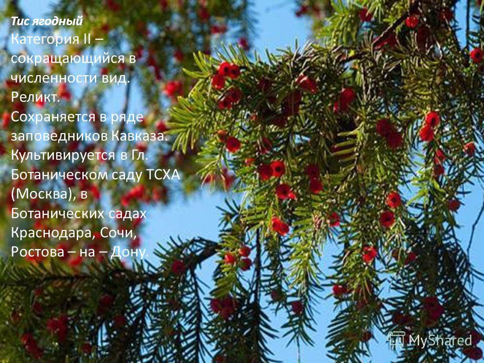 Тис ягодный Категория II – сокращающийся в численности вид. Реликт. Сохраняется в ряде заповедников Кавказа. Культивируется в Гл. Ботаническом саду ТСХА (Москва), в Ботанических садах Краснодара, Сочи, Ростова – на – Дону.