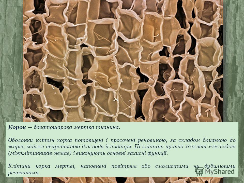 Корок багатошарова мертва тканина. Оболонки клітин корка потовщені і просочені речовиною, за складом близькою до жирів, майже непроникною для води й повітря. Ці клітини щільно зімкнені між собою (міжклітинників немає) і виконують основні захисні функ