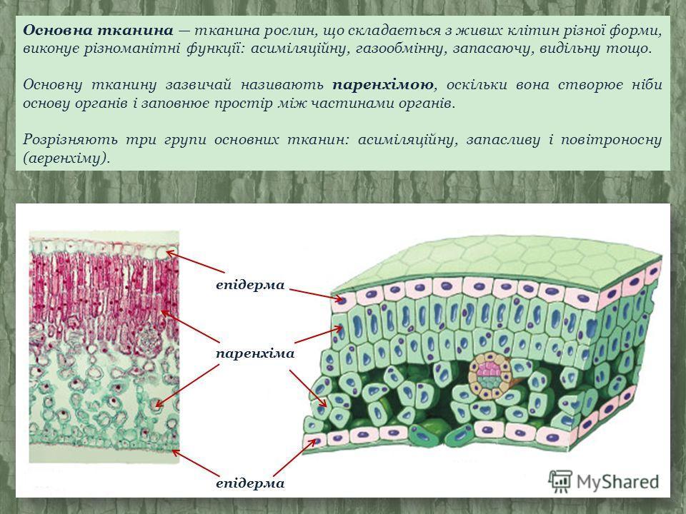 Основна тканина тканина рослин, що складається з живих клітин різної форми, виконує різноманітні функції: асиміляційну, газообмінну, запасаючу, видільну тощо. Основну тканину зазвичай називають паренхімою, оскільки вона створює ніби основу органів і