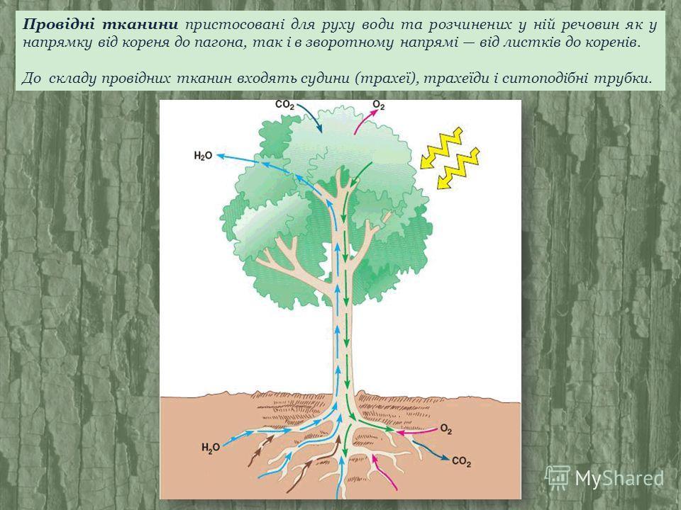 Провідні тканини пристосовані для руху води та розчинених у ній речовин як у напрямку від кореня до пагона, так і в зворотному напрямі від листків до коренів. До складу провідних тканин входять судини (трахеї), трахеїди і ситоподібні трубки.