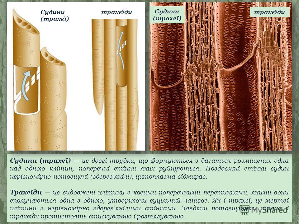 Судини (трахеї) це довгі трубки, що формуються з багатьох розміщених одна над одною клітин, поперечні стінки яких руйнуються. Поздовжні стінки судин нерівномірно потовщені (здерев'янілі), цитоплазма відмирає. Трахеїди це видовжені клітини з косими по