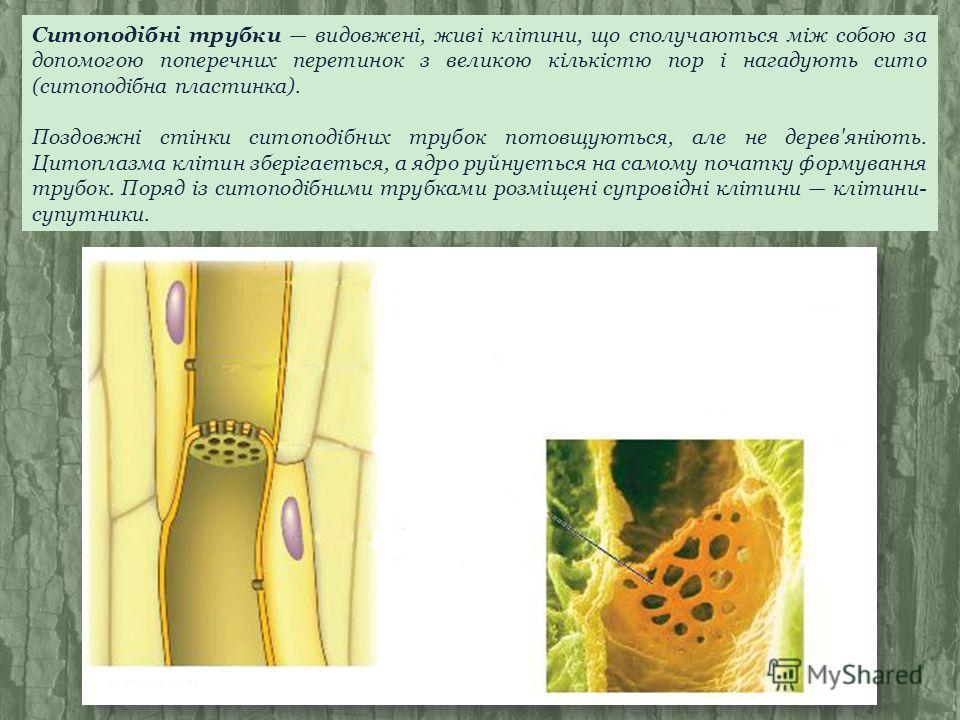 Ситоподібні трубки видовжені, живі клітини, що сполучаються між собою за допомогою поперечних перетинок з великою кількістю пор і нагадують сито (ситоподібна пластинка). Поздовжні стінки ситоподібних трубок потовщуються, але не дерев'яніють. Цитоплаз