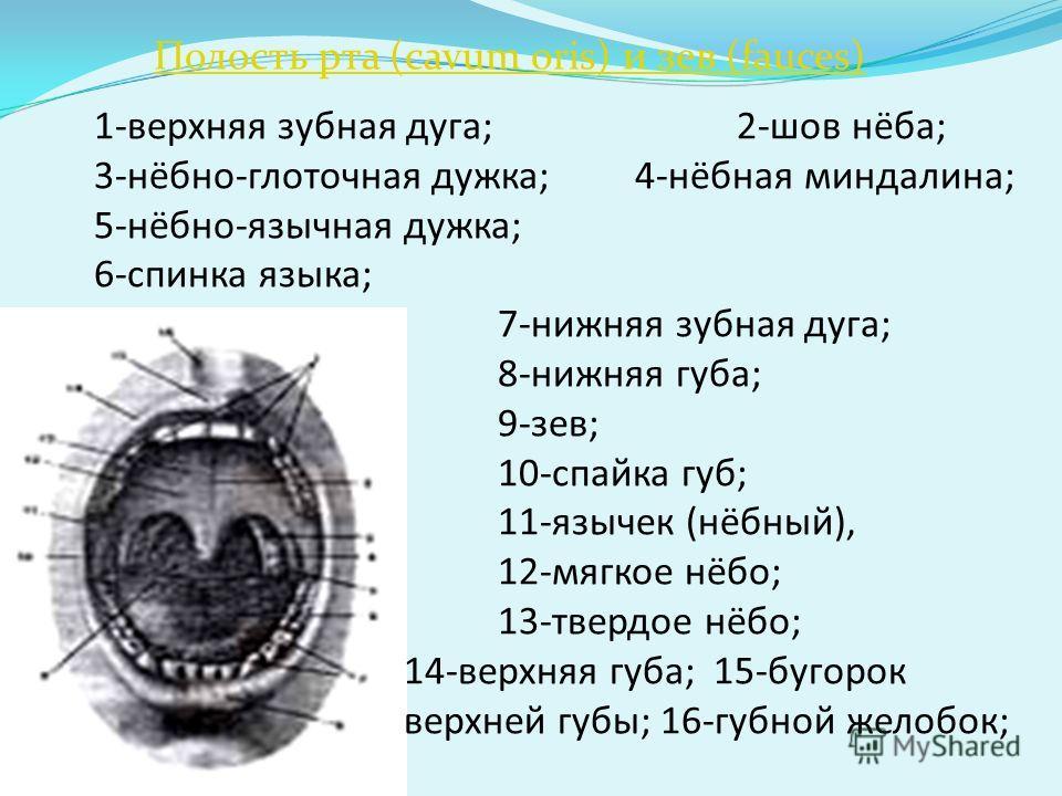 Полость рта (cavum oris) и зев (fauces) 1-верхняя зубная дуга; 2-шов нёба; 3-нёбно-глоточная дужка; 4-нёбная миндалина; 5-нёбно-язычная дужка; 6-спинка языка; 7-нижняя зубная дуга; 8-нижняя губа; 9-зев; 10-спайка губ; 11-язычек (нёбный), 12-мягкое нё