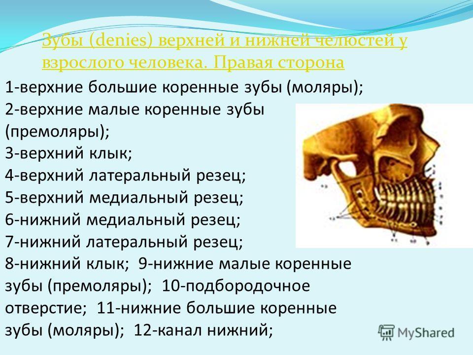 Зубы (denies) верхней и нижней