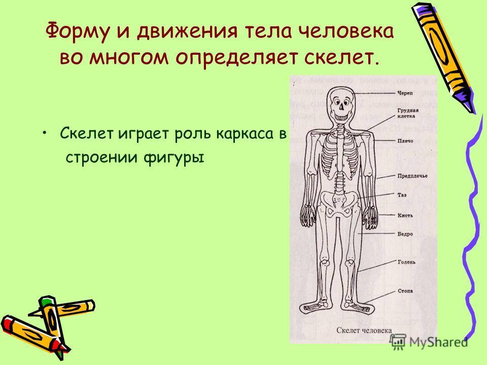 Форму и движения тела человека во многом определяет скелет. Скелет играет роль каркаса в строении фигуры