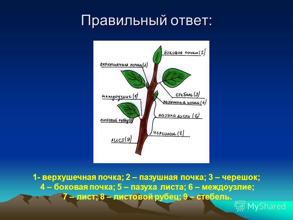 Правильный ответ: 1- верхушечная почка; 2 – пазушная почка; 3 – черешок; 4 – боковая почка; 5 – пазуха листа; 6 – междоузлие; 7 – лист; 8 – листовой рубец; 9 – стебель.