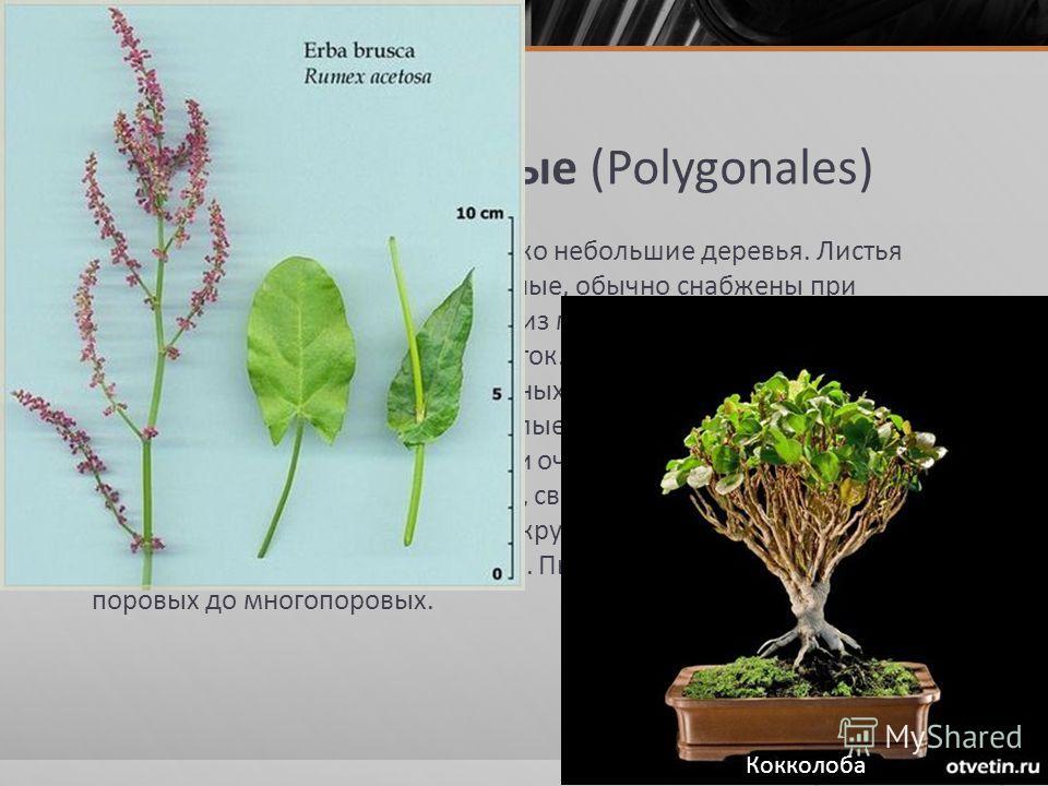Порядок 2. Гречишные (Polygonales) Травы, кустарники или лианы, редко небольшие деревья. Листья большей частью очередные, цельные, обычно снабжены при основании раструбом, состоящим из межчерешковых прилистников. Устьица обычно без побочных клеток. Ч