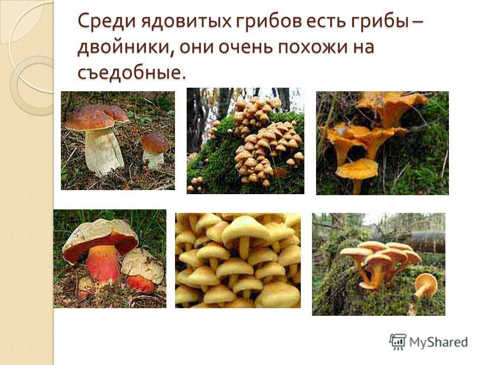 Среди ядовитых грибов есть грибы – двойники, они очень похожи на съедобные.