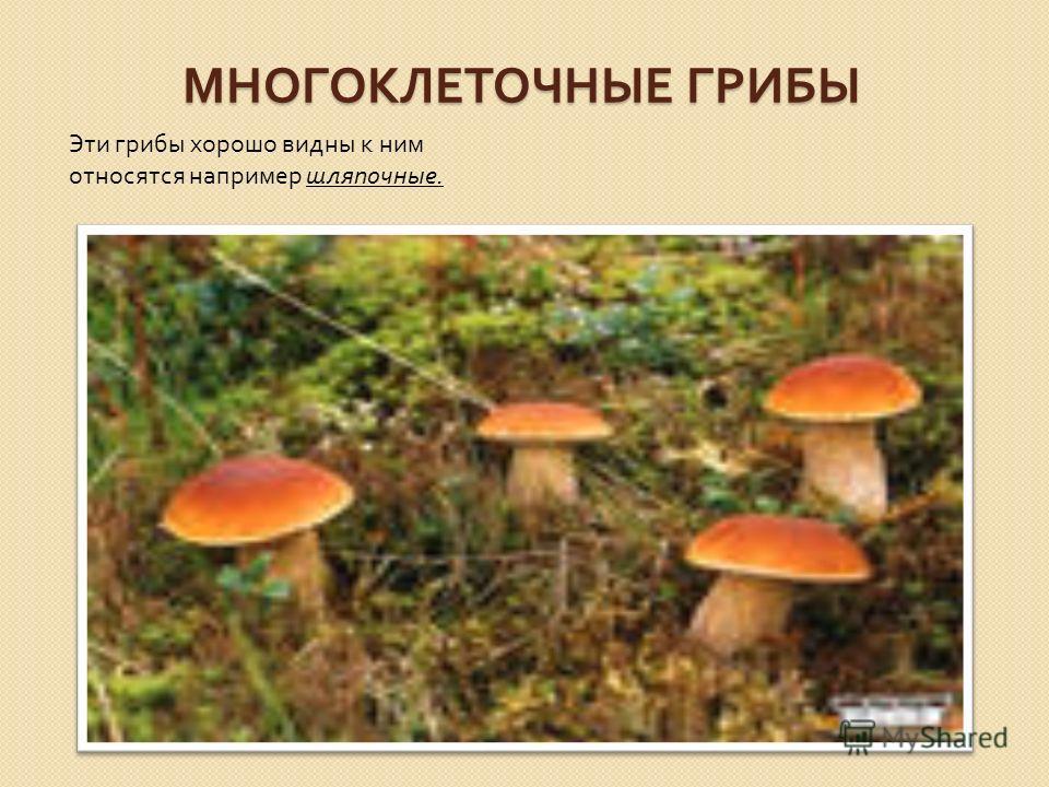 МНОГОКЛЕТОЧНЫЕ ГРИБЫ Эти грибы хорошо видны к ним относятся например шляпочные.
