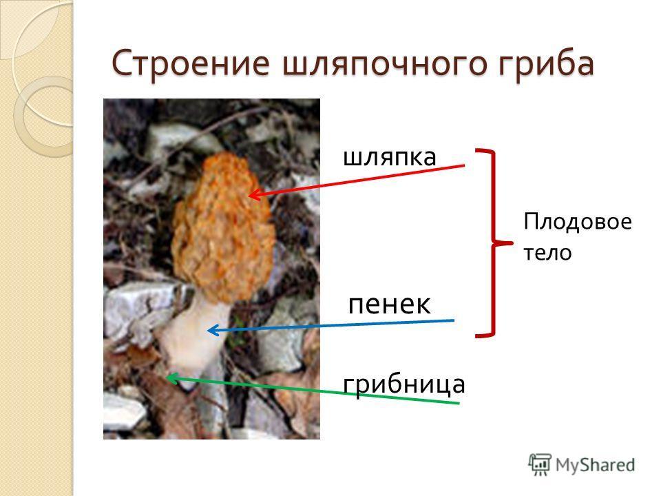 Строение шляпочного гриба шляпка пенек грибница Плодовое тело