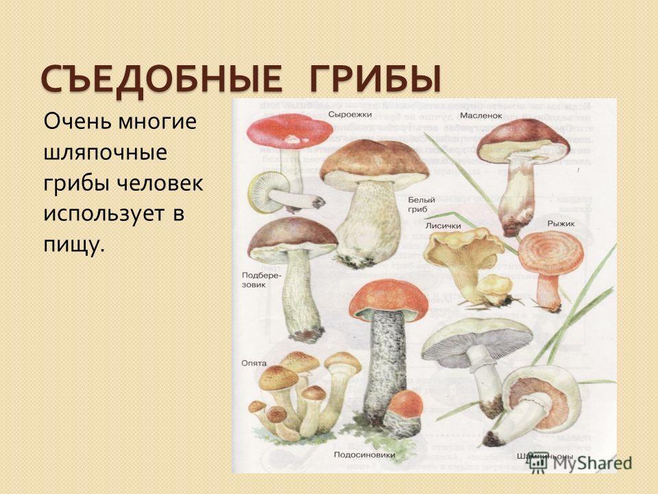 СЪЕДОБНЫЕ ГРИБЫ Очень многие шляпочные грибы человек использует в пищу.
