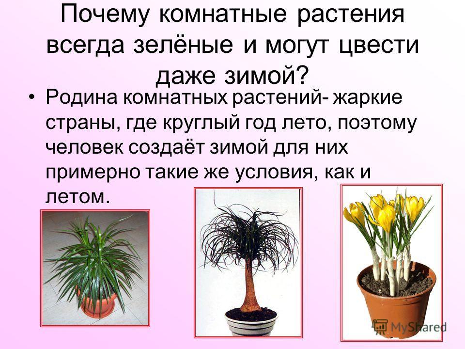 Почему комнатные растения всегда зелёные и могут цвести даже зимой? Родина комнатных растений- жаркие страны, где круглый год лето, поэтому человек создаёт зимой для них примерно такие же условия, как и летом.