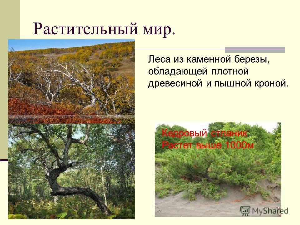 Растительный мир. Леса из каменной березы, обладающей плотной древесиной и пышной кроной. Кедровый стланик Растет выше 1000м