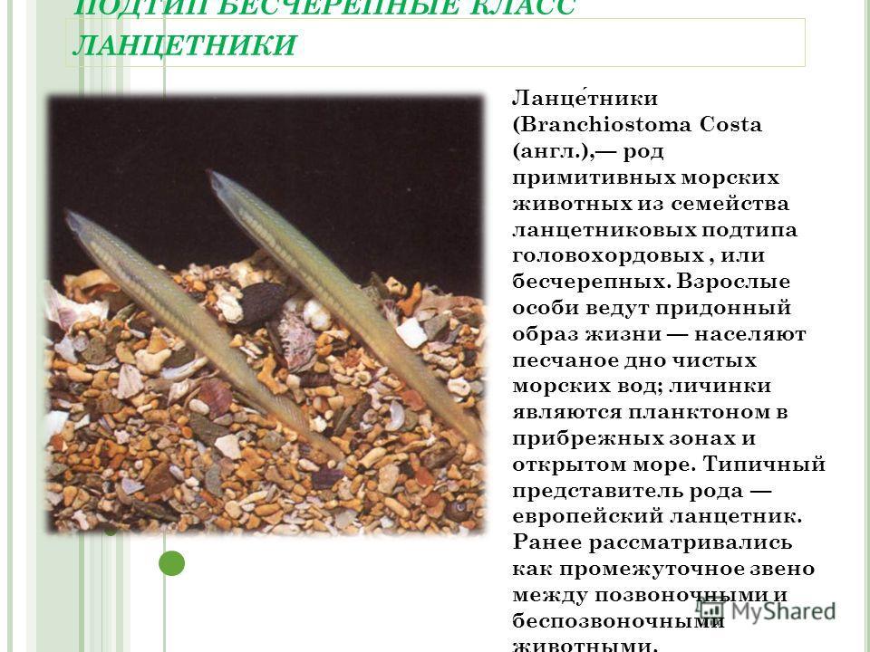 ПОДТИП БЕСЧЕРЕПНЫЕ КЛАСС ЛАНЦЕТНИКИ Ланцетники (Branchiostoma Costa (англ.), род примитивных морских животных из семейства ланцетниковых подтипа головохордовых, или бесчерепных. Взрослые особи ведут придонный образ жизни населяют песчаное дно чистых