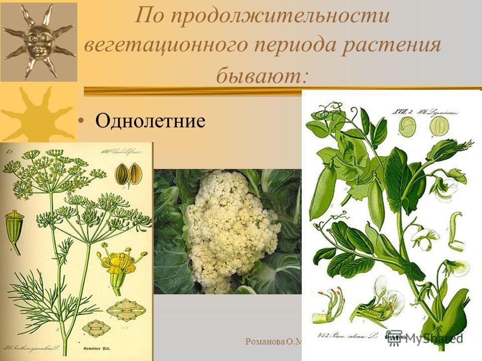 23.10.2013Романова О.М.12 По продолжительности вегетационного периода растения бывают: Однолетние