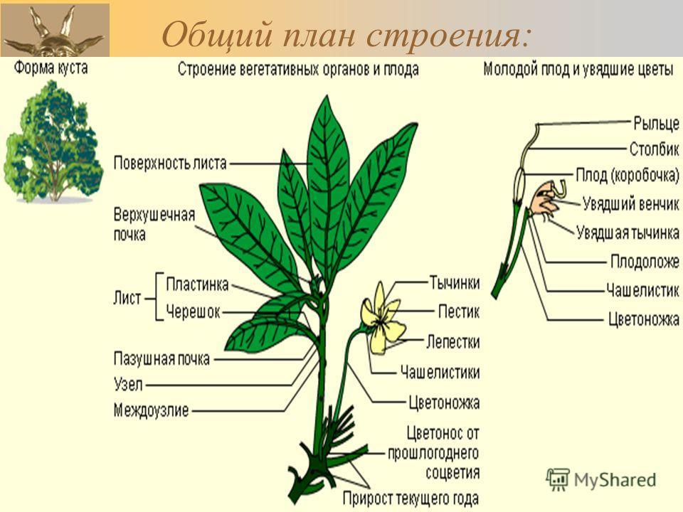 23.10.2013Романова О.М.17 Общий план строения:
