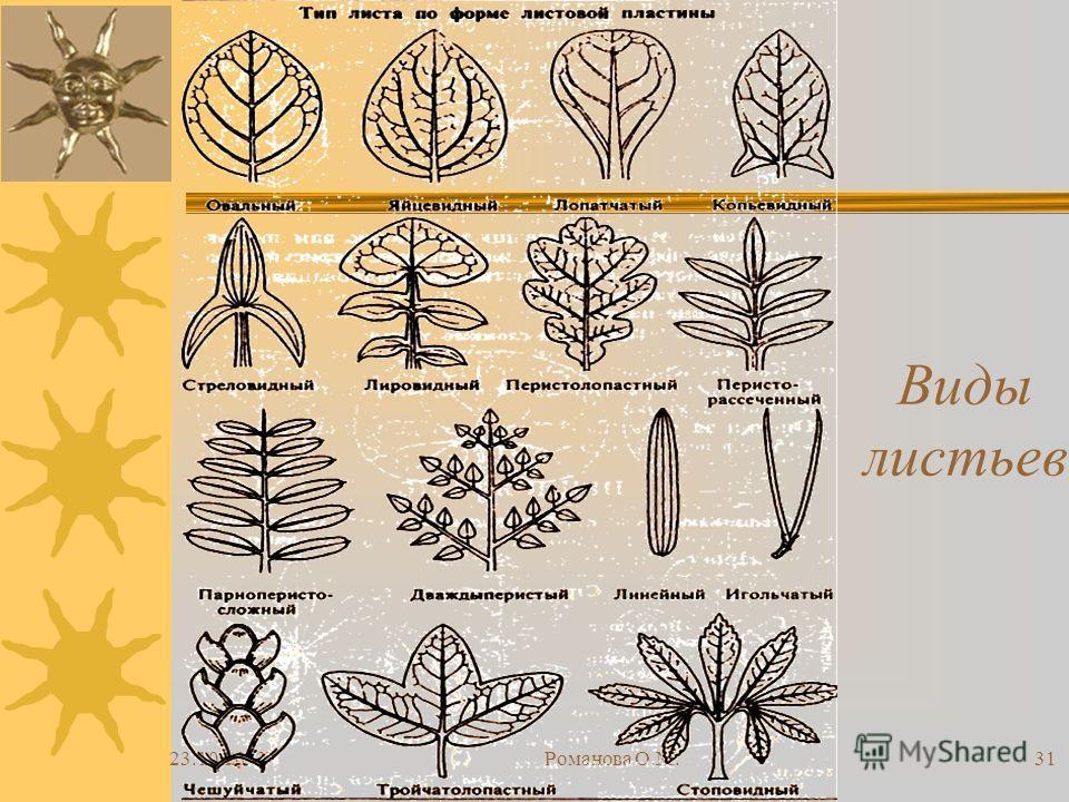 23.10.2013Романова О.М.31 Виды листьев