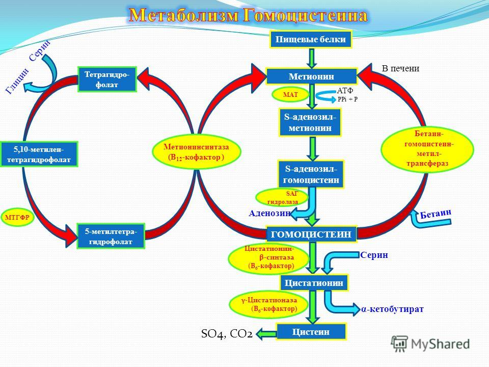 Пищевые белки Метионин S-аденозил- метионин АТФ S-аденозил- гомоцистеин ГОМОЦИСТЕИН Аденозин Бетаин 5-метилтетра- гидрофолат Тетрагидро- фолат 5,10-метилен- тетрагидрофолат Серин Глицин Цистатионин Цистеин В печени SO4, CO2 Серин α-кетобутират PPi +