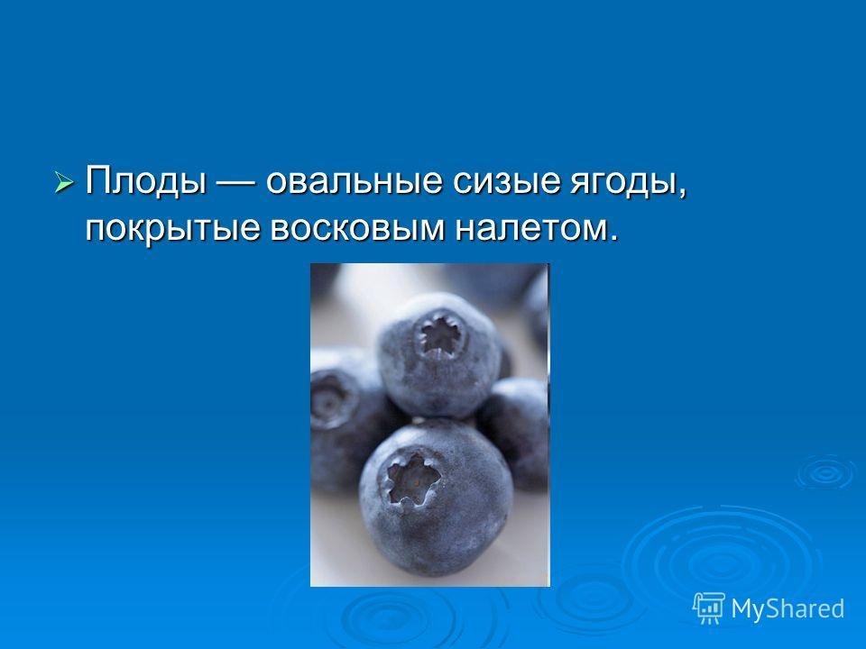 Плоды овальные сизые ягоды, покрытые восковым налетом. Плоды овальные сизые ягоды, покрытые восковым налетом.