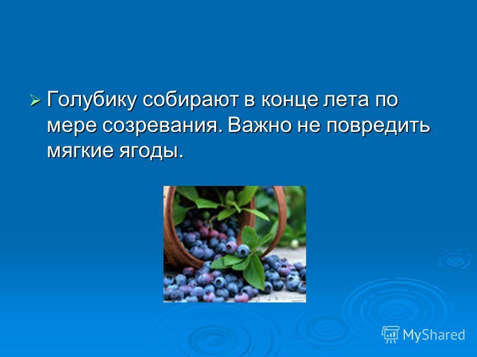 Голубику собирают в конце лета по мере созревания. Важно не повредить мягкие ягоды. Голубику собирают в конце лета по мере созревания. Важно не повредить мягкие ягоды.