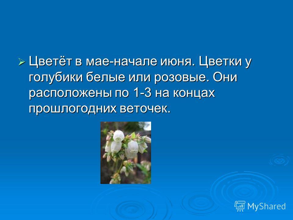 Цветёт в мае-начале июня. Цветки у голубики белые или розовые. Они расположены по 1-3 на концах прошлогодних веточек. Цветёт в мае-начале июня. Цветки у голубики белые или розовые. Они расположены по 1-3 на концах прошлогодних веточек.