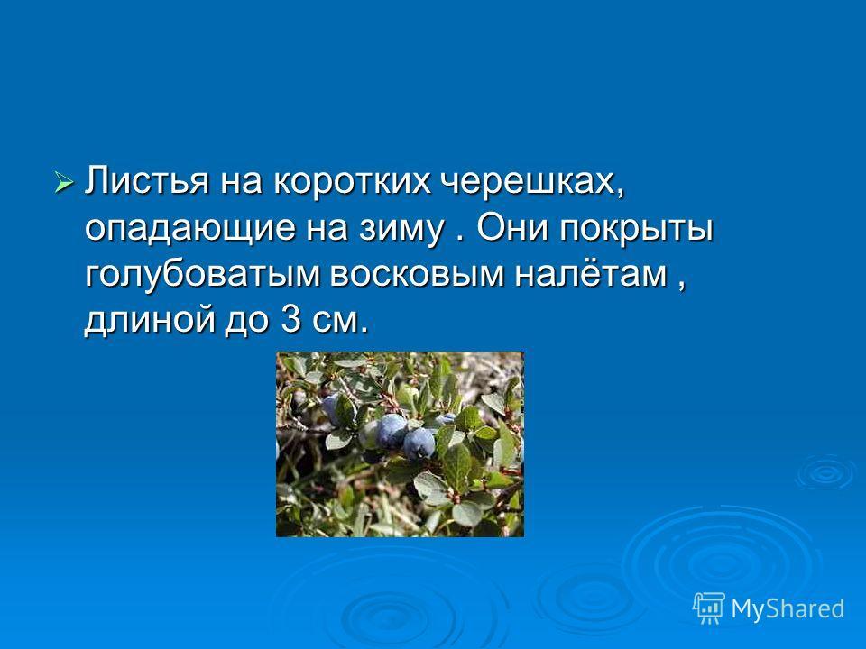 Листья на коротких черешках, опадающие на зиму. Они покрыты голубоватым восковым налётам, длиной до 3 см. Листья на коротких черешках, опадающие на зиму. Они покрыты голубоватым восковым налётам, длиной до 3 см.