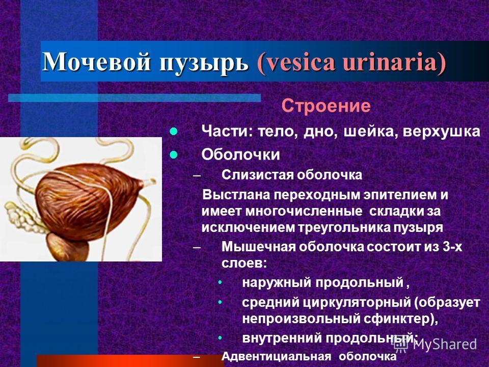 Мочевой пузырь (vesica urinaria) Строение Части: тело, дно, шейка, верхушка Оболочки –Слизистая оболочка Выстлана переходным эпителием и имеет многочисленные складки за исключением треугольника пузыря –Мышечная оболочка состоит из 3-х слоев: наружный
