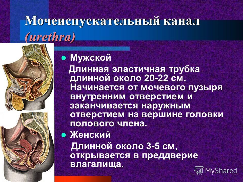 Мочеиспускательный канал (urethra) Мужской Длинная эластичная трубка длинной около 20-22 см. Начинается от мочевого пузыря внутренним отверстием и заканчивается наружным отверстием на вершине головки полового члена. Женский Длинной около 3-5 см, откр