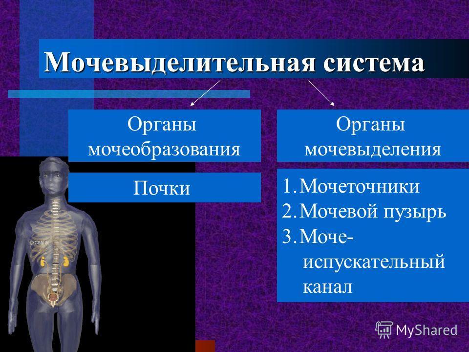 Мочевыделительная система Органы мочеобразования Органы мочевыделения Почки 1.Мочеточники 2.Мочевой пузырь 3.Моче- испускательный канал