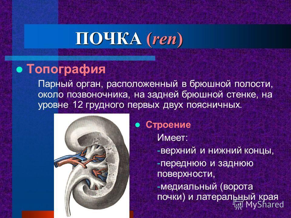 ПОЧКА (ren) Топография Парный орган, расположенный в брюшной полости, около позвоночника, на задней брюшной стенке, на уровне 12 грудного первых двух поясничных. Строение Имеет: -верхний и нижний концы, -переднюю и заднюю поверхности, -медиальный (во