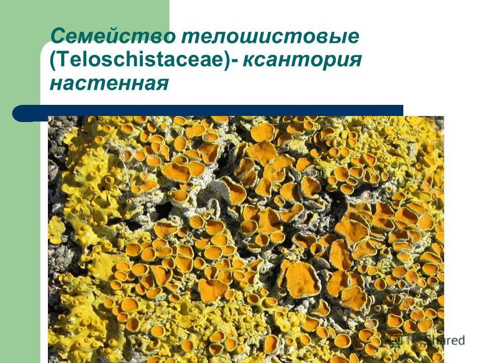 Семейство телошистовые (Teloschistaceae)- ксантория настенная