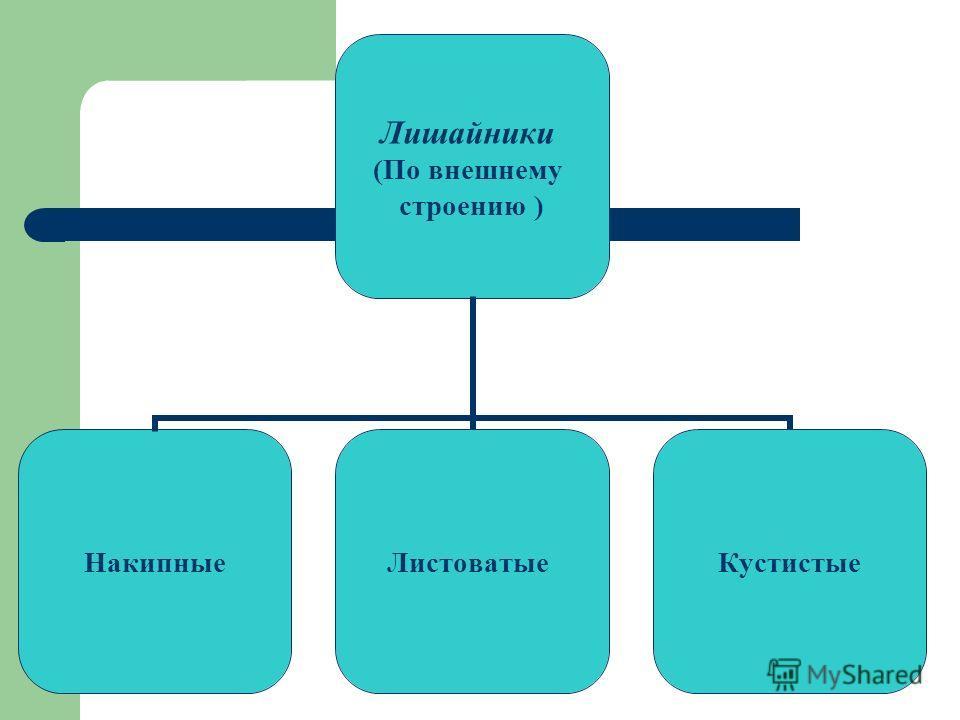 Лишайники (По внешнему строению ) НакипныеЛистоватыеКустистые