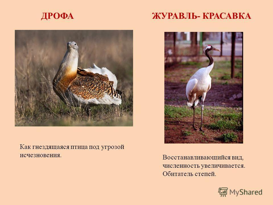 ДРОФАЖУРАВЛЬ- КРАСАВКА Как гнездящаяся птица под угрозой исчезновения. Восстанавливающийся вид, численность увеличивается. Обитатель степей.