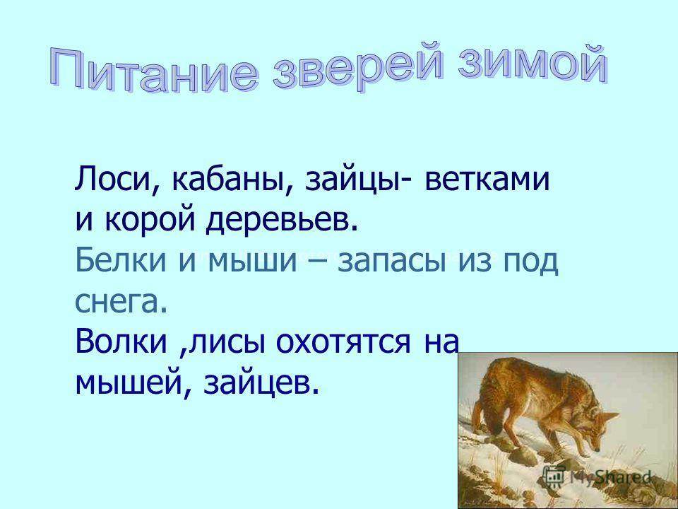 Волки, лисы охотятся на мышей, зайцев Лоси, кабаны, зайцы- ветками и корой деревьев. Белки и мыши – запасы из под снега. Волки,лисы охотятся на мышей, зайцев.
