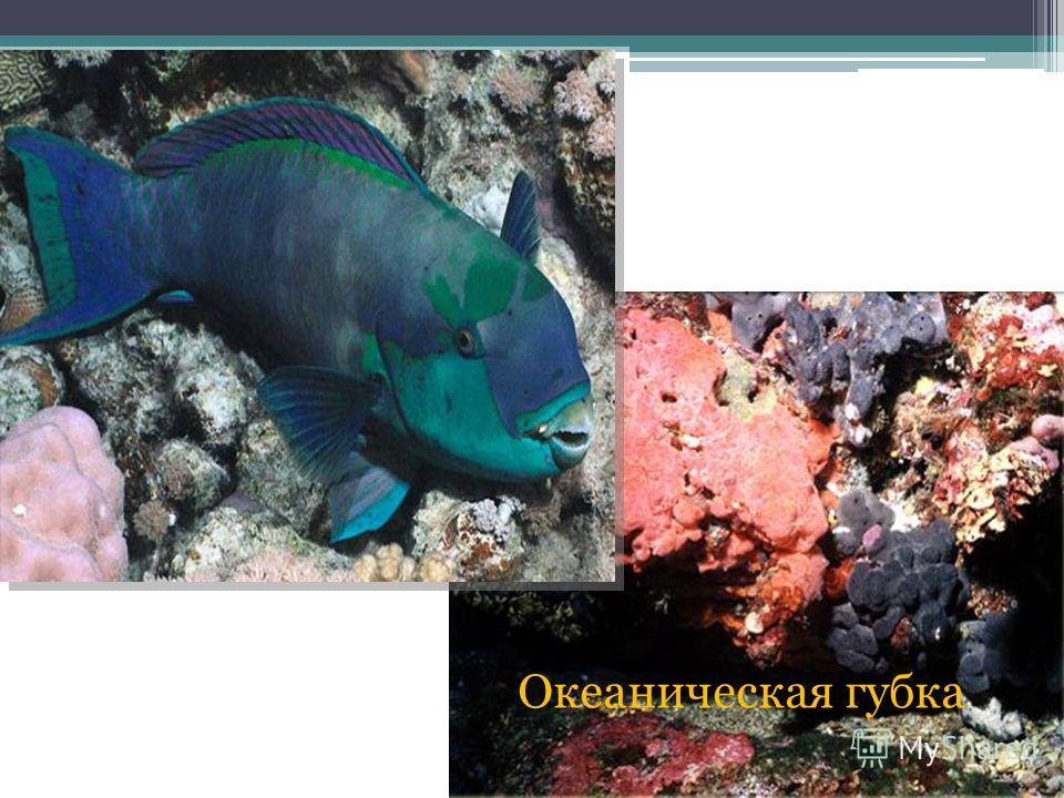 Глубоководная рыба Океаническая губка