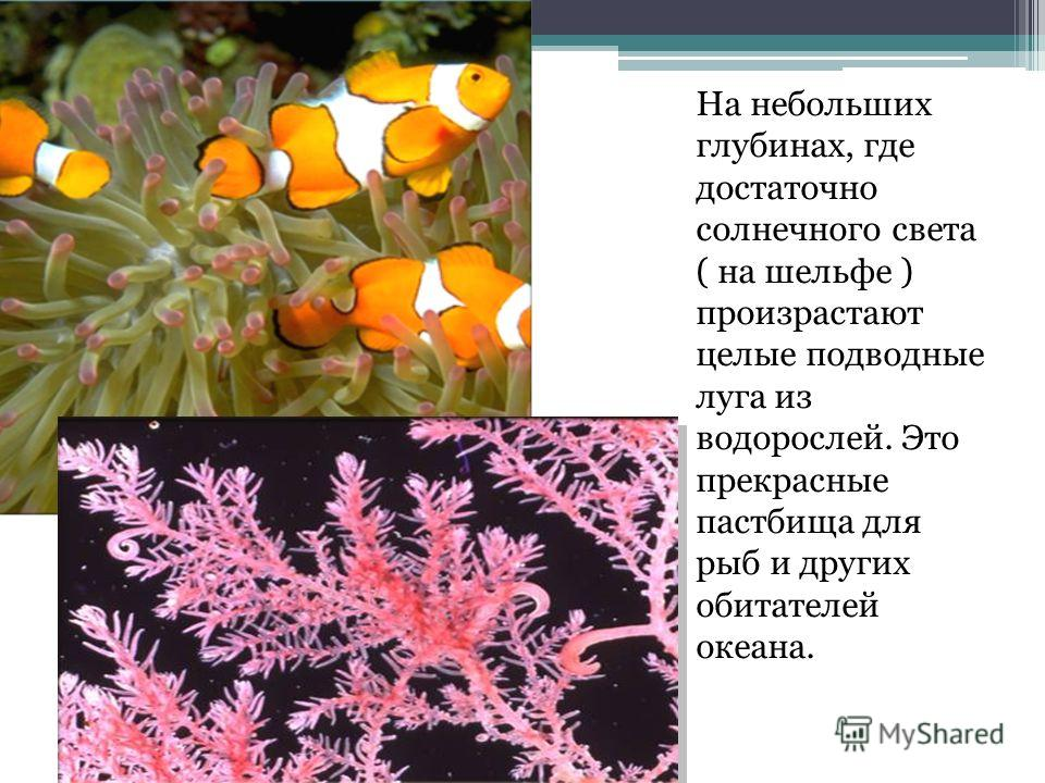 На небольших глубинах, где достаточно солнечного света ( на шельфе ) произрастают целые подводные луга из водорослей. Это прекрасные пастбища для рыб и других обитателей океана.