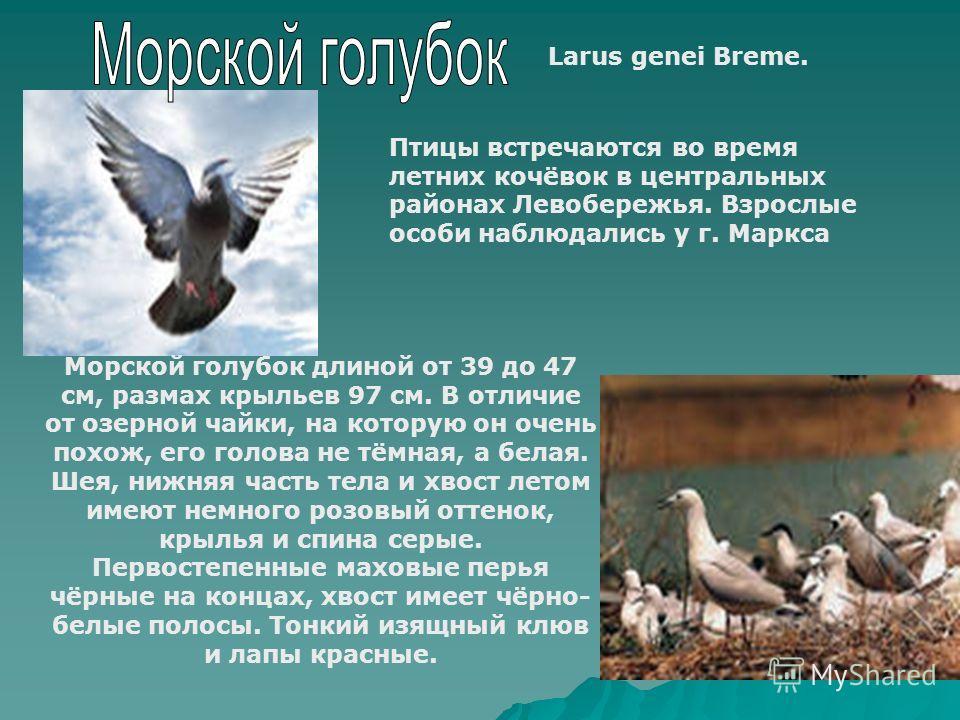 Larus genei Breme. Птицы встречаются во время летних кочёвок в центральных районах Левобережья. Взрослые особи наблюдались у г. Маркса Морской голубок длиной от 39 до 47 см, размах крыльев 97 см. В отличие от озерной чайки, на которую он очень похож,