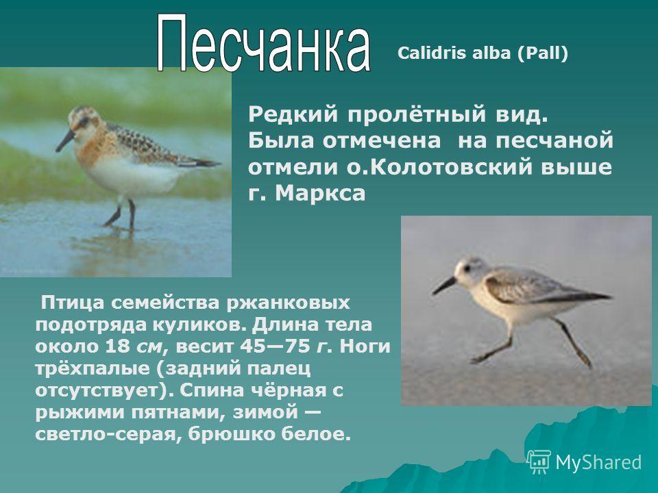 Calidris alba (Pall) Редкий пролётный вид. Была отмечена на песчаной отмели о.Колотовский выше г. Маркса Птица семейства ржанковых подотряда куликов. Длина тела около 18 см, весит 4575 г. Ноги трёхпалые (задний палец отсутствует). Спина чёрная с рыжи