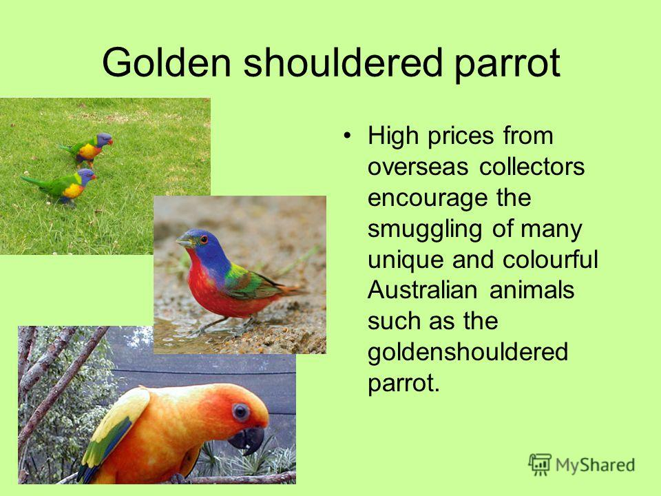 Golden shouldered parrot High prices from overseas collectors encourage the smuggling of many unique and colourful Australian animals such as the goldenshouldered parrot.
