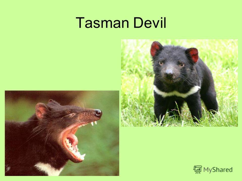 Tasman Devil
