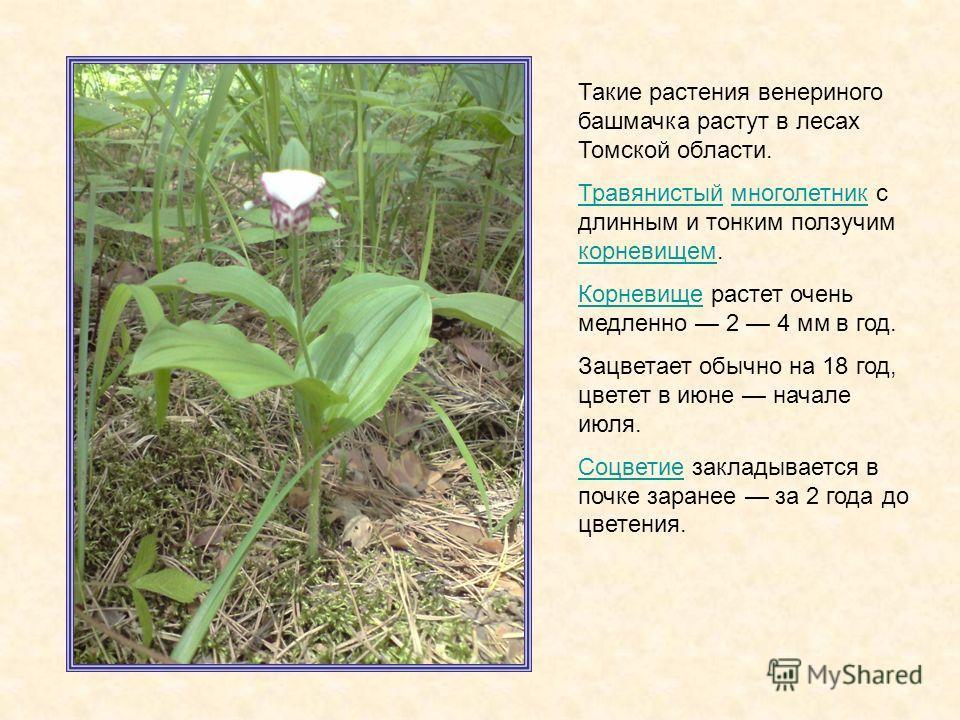 Такие растения венериного башмачка растут в лесах Томской области. ТравянистыйТравянистый многолетник с длинным и тонким ползучим корневищем.многолетник корневищем КорневищеКорневище растет очень медленно 2 4 мм в год. Зацветает обычно на 18 год, цве
