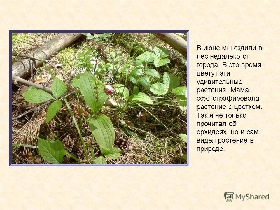 В июне мы ездили в лес недалеко от города. В это время цветут эти удивительные растения. Мама сфотографировала растение с цветком. Так я не только прочитал об орхидеях, но и сам видел растение в природе.