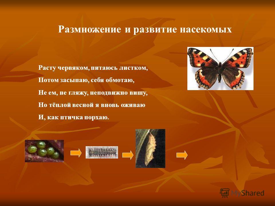 Размножение и развитие насекомых Расту червяком, питаюсь листком, Потом засыпаю, себя обмотаю, Не ем, не гляжу, неподвижно вишу, Но тёплой весной я вновь оживаю И, как птичка порхаю.