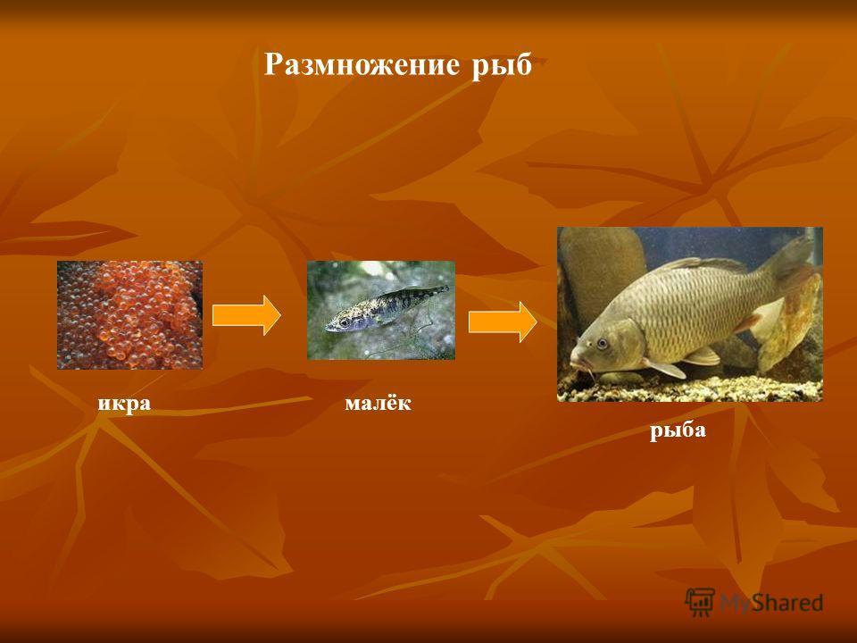 Размножение рыб икрамалёк рыба