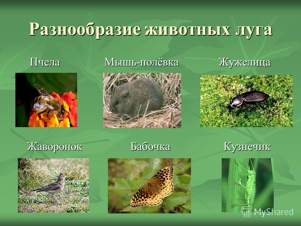 Разнообразие животных луга Пчела Мышь-полёвка Жужелица Пчела Мышь-полёвка Жужелица Жаворонок Бабочка Кузнечик Жаворонок Бабочка Кузнечик