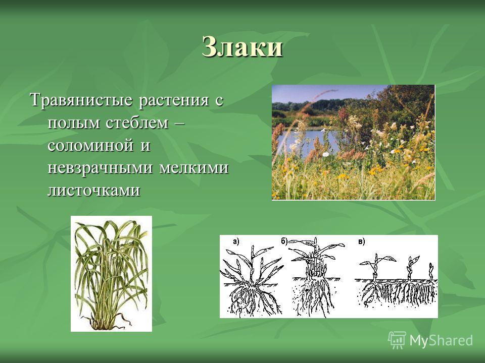 Злаки Травянистые растения с полым стеблем – соломиной и невзрачными мелкими листочками