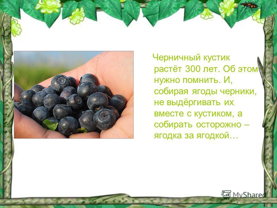 Черничный кустик растёт 300 лет. Об этом нужно помнить. И, собирая ягоды черники, не выдёргивать их вместе с кустиком, а собирать осторожно – ягодка за ягодкой…